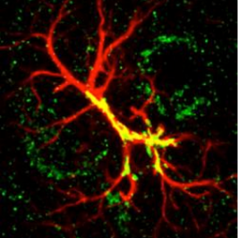 Astrocytes control developmental synaptic refinement at dendritic spines