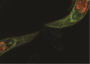 1. Fluorescent beta spectrin in C. elegans. Image courtesy of Drs. Michael Krieg & Miriam Goodman.