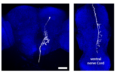 4. Through screening, a descending interneuron has been identified that controls these behaviors. Image courtesy of Dr. Michael Dickinson.